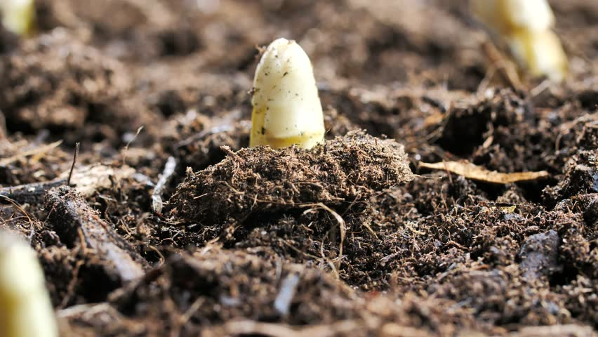 Agriculture, farming. Fresh asparagus. Vegetarian healthy food. Growth harvest. Green asparagus