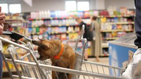 small dog is sitting in supermarket cart an looks around in 4K slow motion close up video