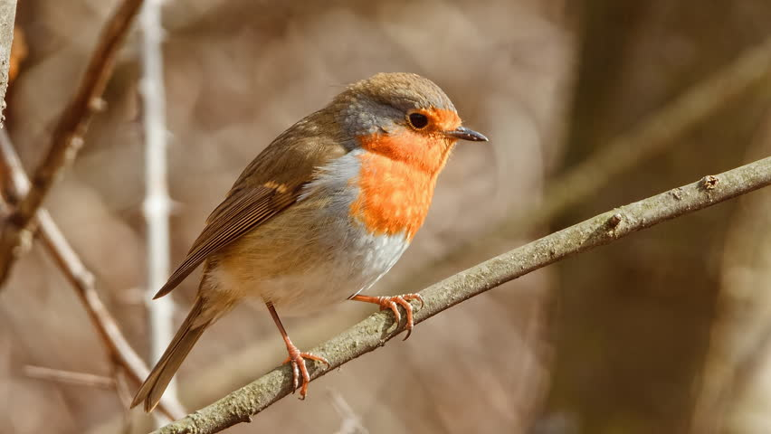 Close up view of European Robin (Erithacus rubecula) in early spring.  | Shutterstock HD Video #1026100487