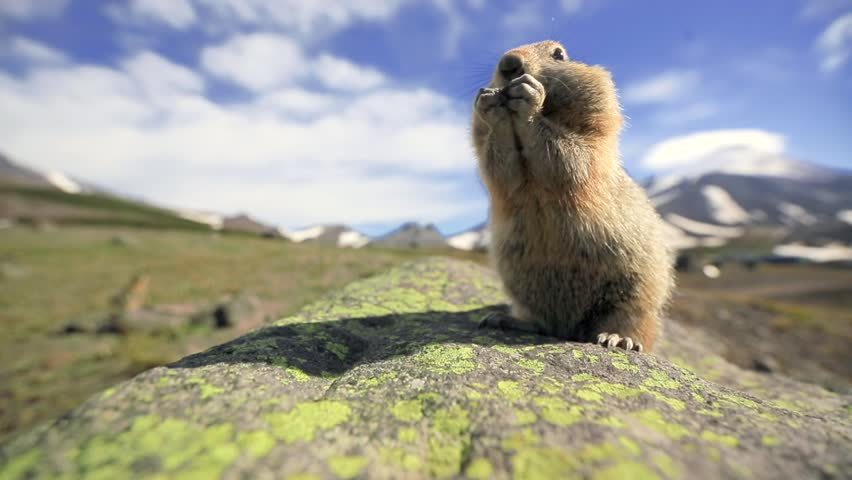 A cute fuzzy groundhog is carrying the nut in his small paws, chewing it and stuffing it in his cheeks. The prairie dogs is looking into the camera on a sunny day in Kamchatka wildlife. Far East.