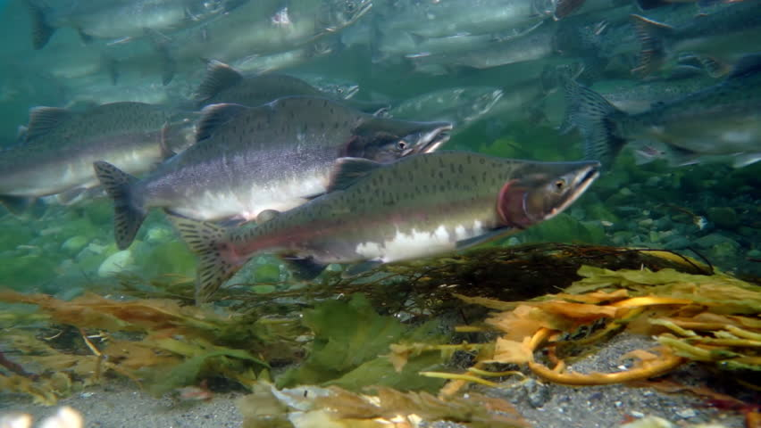 School of salmon fish underwater swimming against current in sea. Salmonidae Game-fish in clear transparent water of Sea of Okhotsk.