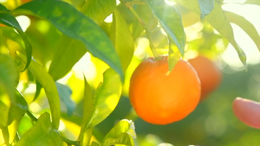 Ripe Orange Citrus fruits or tangerines hanging on a tree. Person picking Beautiful Healthy organic juicy oranges in Sunny Orchard. Orange gathering. 4K UHD video 3840X2160 slow motion Royalty-Free Stock Footage #1026170705