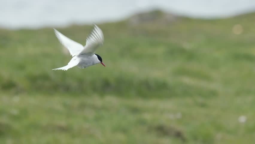 Arctic Tern courtship male and female