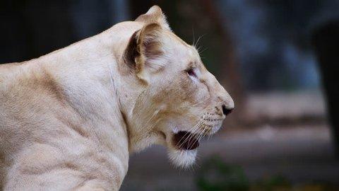 4K video of white lion, Thailand.