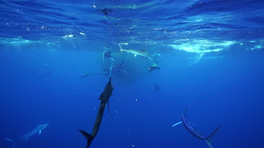 Striped marlin, sailfish and California sea lions attack a large mackerel bait ball off the Pacific coast of Baja California Sur, near Magdalena Bay, Mexico.