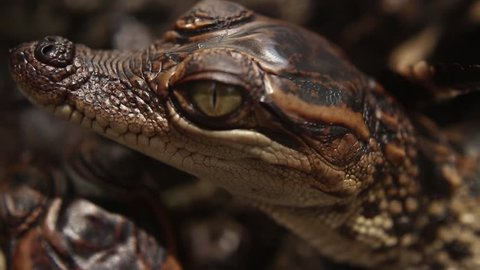 BABY CROCODILES - Close up of baby crocodile, focusing on its head using macro lens; crocodiles seen here after they are newly hatched, but already capable of hunting and calling for their mother.