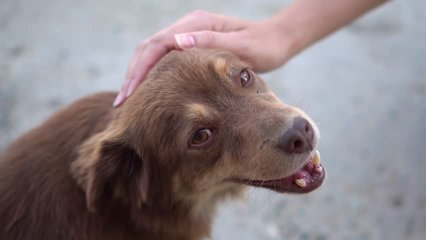 small cute stray dog gets affection from  stranger, homeless pet with kind grateful eyes looks into camera, makes  video cry and sympathize, social video about helping animals. hand stroking sad puppy