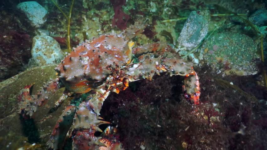 Macro of brown king crab (Paralithodes brevipess) underwater in sea.
