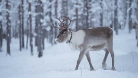 Slowmotion of a majestetic reindeer walking calmy in a snowy forest among other reindeer in Lapland Finland.