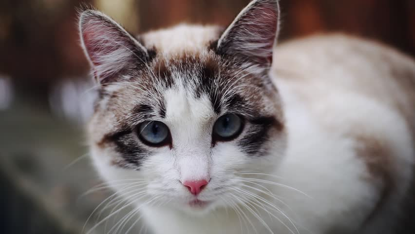 Grey White Cat With Blue Stock Footage Video 100 Royalty Free 1026373994 Shutterstock