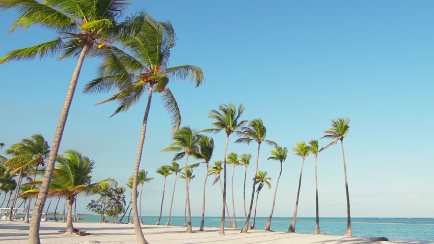 Tall beautiful freestanding palm trees on the beach. Big wild beach and blue sea. Vacation in Caribbean/Background for relaxation. Palm trees and white sand. Isolated Island palms beach sand Hawaii #1026379100