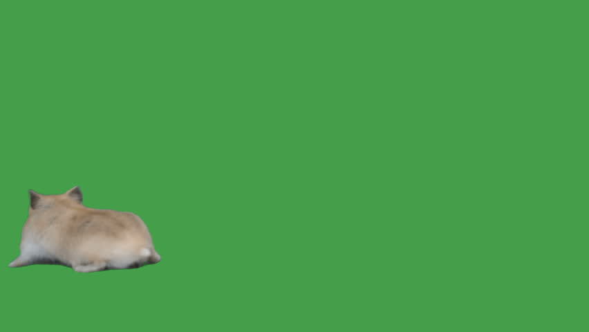 Hamster walks on a green screen | Shutterstock HD Video #1026428528