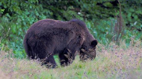 Eurasian brown bear (Ursus arctos arctos), also known as the European brown bear
