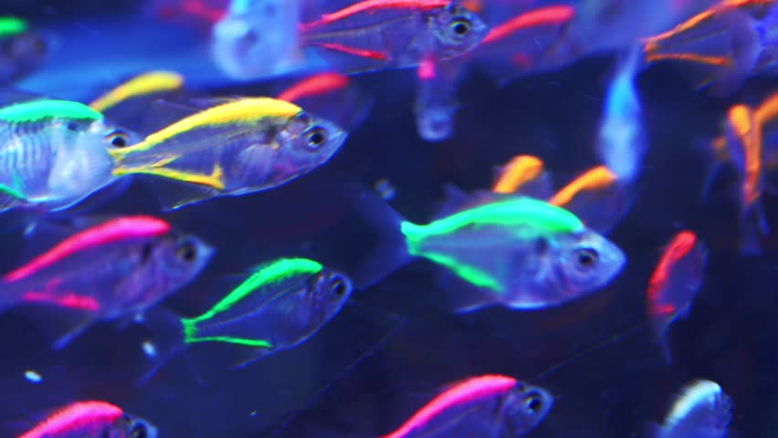 Blurred Neon Tetra Paracheirodon