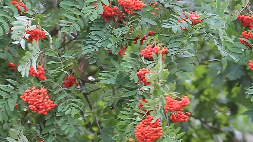 Hd00 31green Leaves And Red Berries On A Tree Blowing In The Wind On