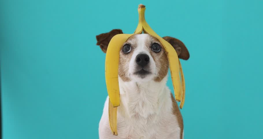 Funny Jack Russell Terrier dog with banana peel on head looking up on blue background | Shutterstock HD Video #1026484751