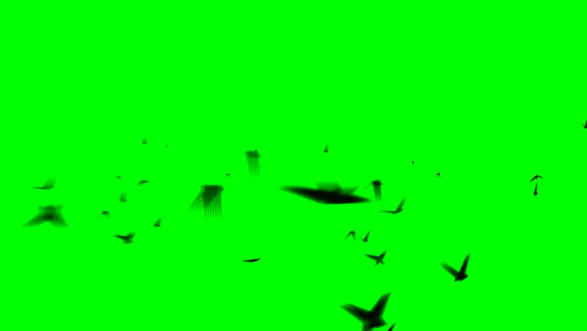 WILDLIFE black animal design seagull flying on Green screen Slow motion shot of pigeons flying on green screen and on white isolated on a green background in studio shot background flying butterflies