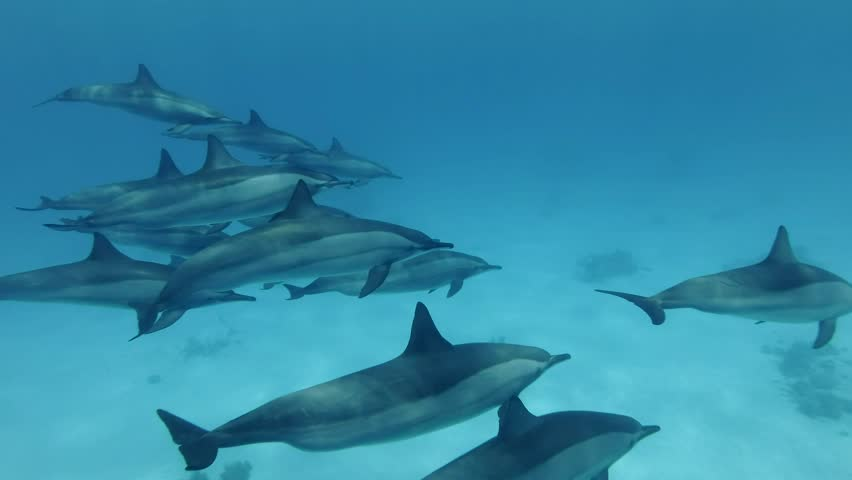 Close-up,a pod of dolphins swim in the blue water. Spinner dolphins (Stenella longirostris), Underwater shot, follow shot. Red Sea, Sataya Reef  Marsa Alam, Egypt, Africa Royalty-Free Stock Footage #1026649193