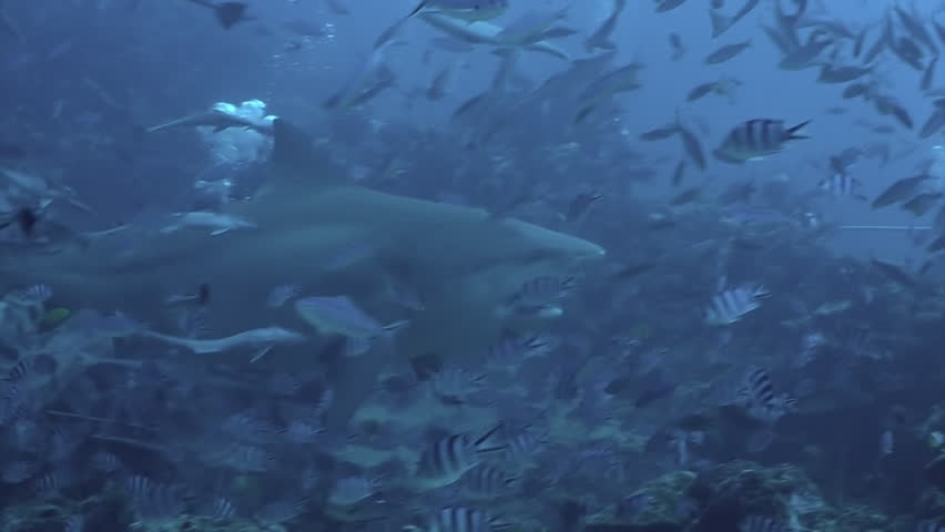 Close-up gray bull shark eats fish near divers underwater ocean of Tonga. Divers feed school of sharks Carcharhinus leucas in underwater marine wildlife of Pacific Ocean.