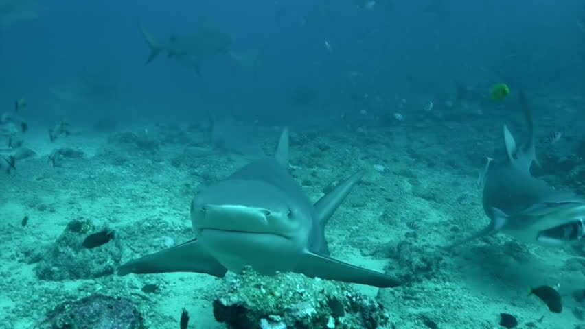 Gray bull shark eats from hands with diver underwater ocean of Tonga. Pack of sharks Carcharhinus leucas with divers in underwater marine wildlife of Pacific Ocean.