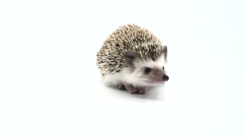 Derpy hedgehog sniffing around and looking at camera