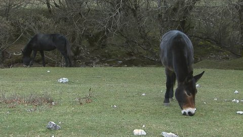 Pair of black mules that graze the grass