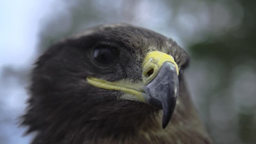 Eagle, hawk close up with a honorable face of American flag