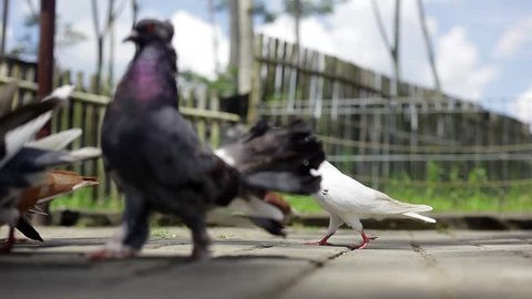 Hungry pigeons eating on the park