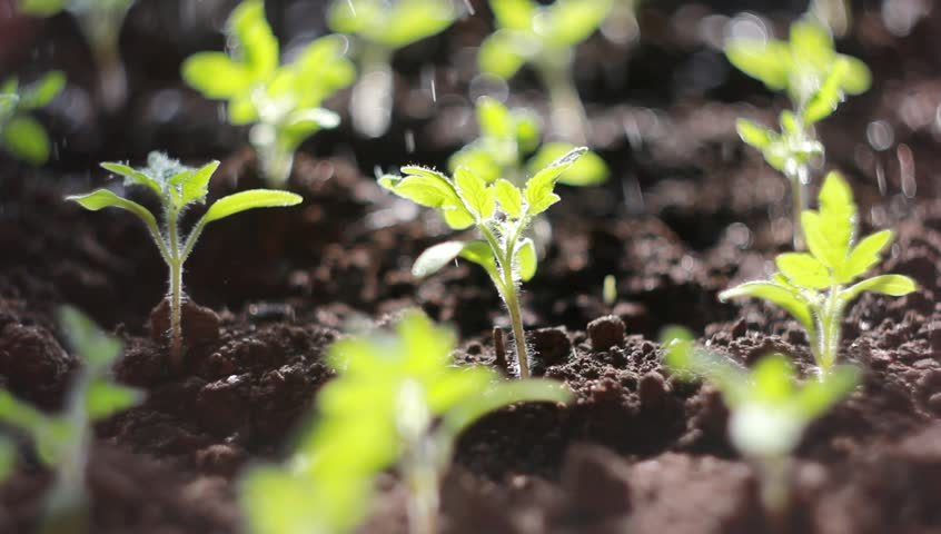 Tomato seedling watered. Watering small seedlings in the ground. The seedling in the growth process reaches for the sun with irrigation on its water. | Shutterstock HD Video #1026958331