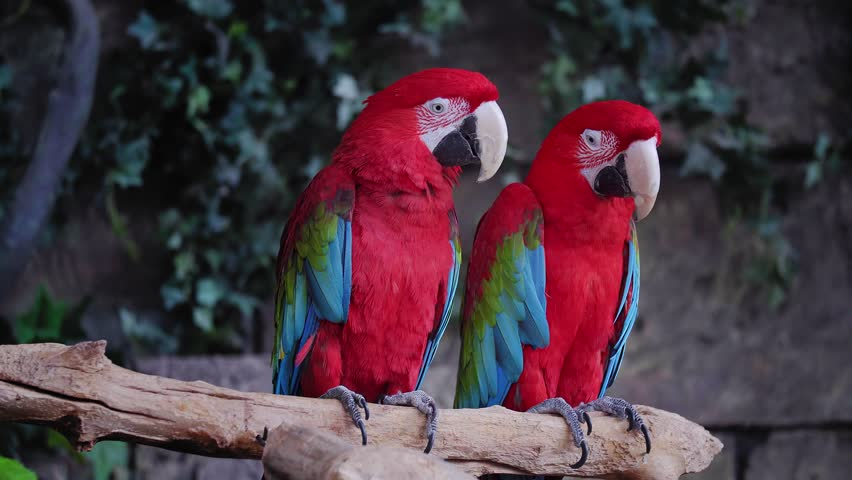 A pair of red and blue macaw parrots. repeat each other's movements