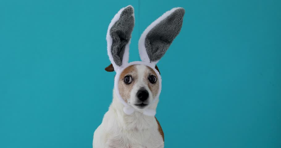 Frightened dog with rabbit ears hat on isolated on a blue background | Shutterstock HD Video #1027045442