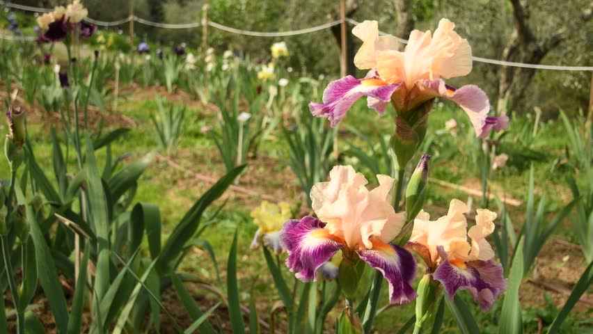 Beautiful blossoming iris moving in the wind in a garden. Video footage, static camera. | Shutterstock HD Video #1027092125