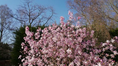 Magnolia × soulangeana (saucer magnolia) filmed in an English garden in early spring 2019. Shot in slow motion on a sunny day against a green grass lawn, blue sky and dark green fir trees.