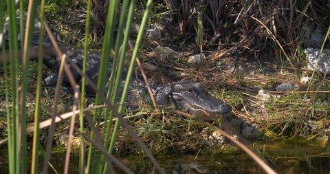 Close Up, Alligator on Banks of Everglades Swamp, Slow Motion