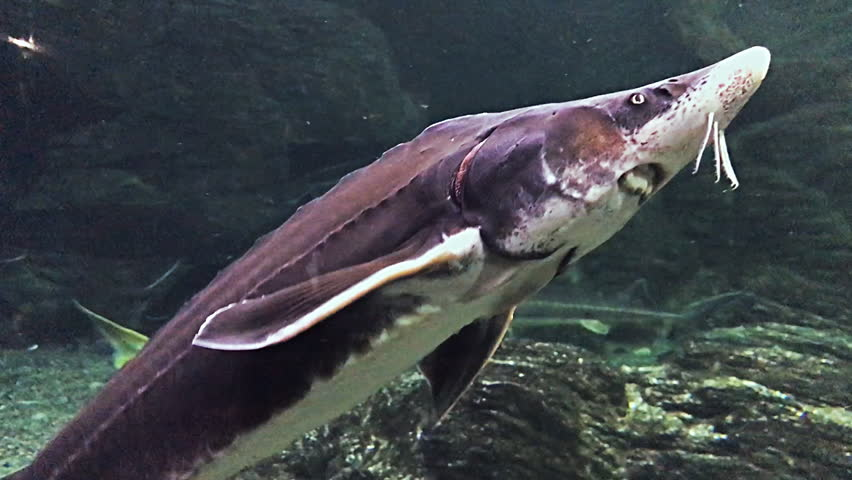 Different types of sturgeons in oceanarium, full of tropical animals and plants. The sturgeons float under the water in the marin aquarium.  | Shutterstock HD Video #1027177769