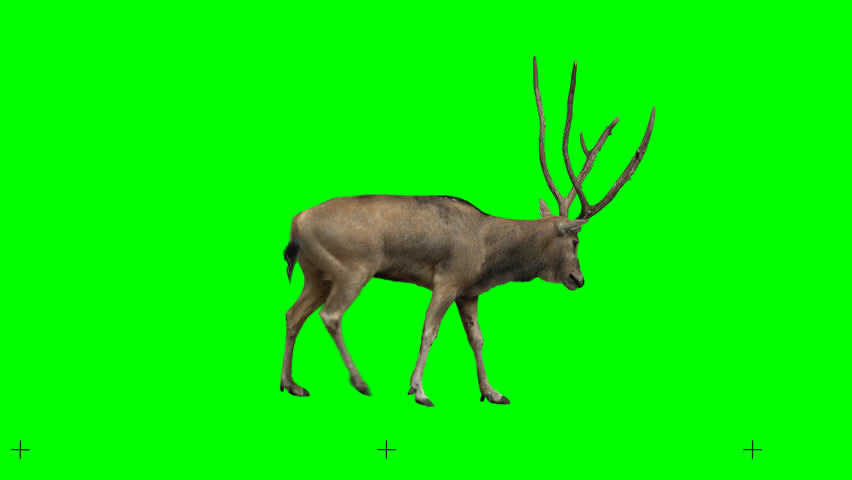 David's deer slowly walking seamlessly looped on green screen, real shot, isolated with chroma key, perfect for digital composition, cinema, 3d mapping.