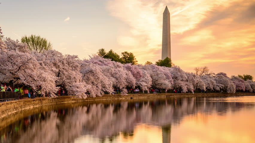 WASHINGTON - APRIL 11, 2015: Crowds throng the tidal basin below the Washington Monument during the annual cherry blossom season in Washington DC.