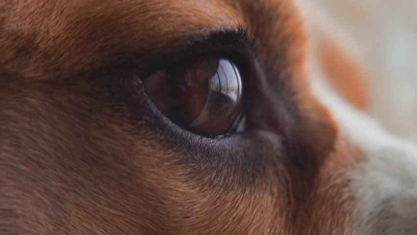 Close-up macro depth of field: details of the dog's eyes, nose, mouth that blinks and waits for the owner. Beautiful red dog Beagle eye. Soft warm light, slow motion, close-up. 4K. Red Epic