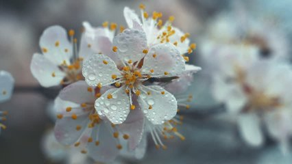 White flower Apricot with raindrops on the petals, flowering in the garden of Apricot trees, against the background of blooming white flowers. Nature. Flower close up.