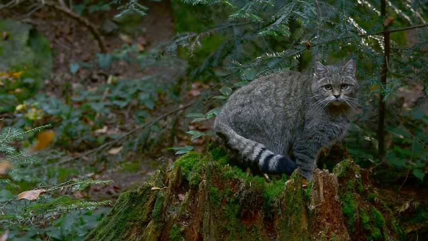 European wildcat / wild cat (Felis silvestris silvestris) sitting on tree stump in forest Royalty-Free Stock Footage #1027451456