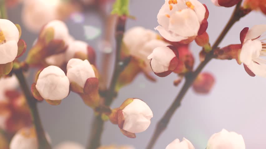 Spring flowers opening. Beautiful Spring Apricot tree blossom timelapse, extreme close up. Time lapse of Easter fresh pink blossoming apricot closeup. Blooming backdrop 4K UHD video