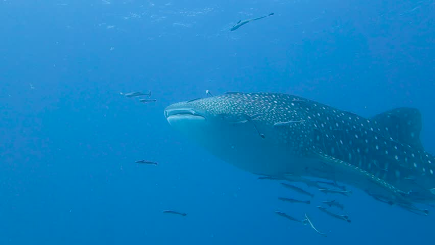 Majestic whale shark slowly swims in open tropical water; covered in remora fish; silhouette. | Shutterstock HD Video #1027478690