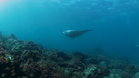 A Manta Ray playing in blue water above a tropical reef