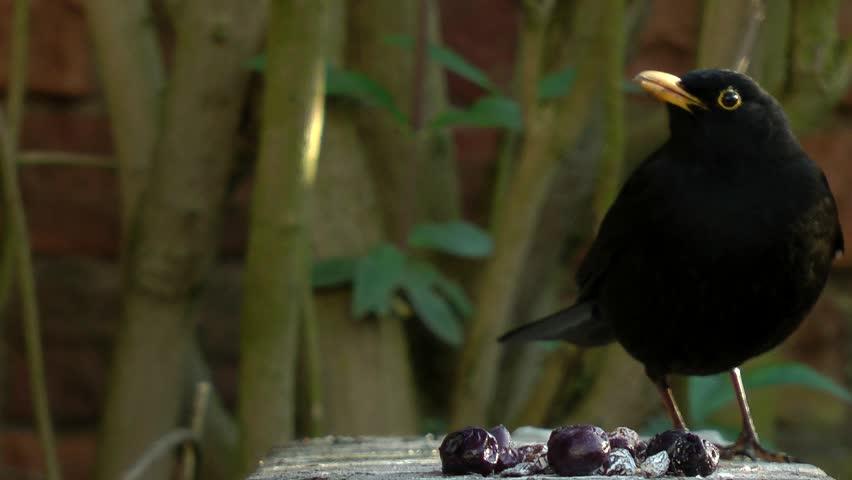 Common blackbird (Turdus merula) walks into focus and eats steals berry. 50fps  #1027503305