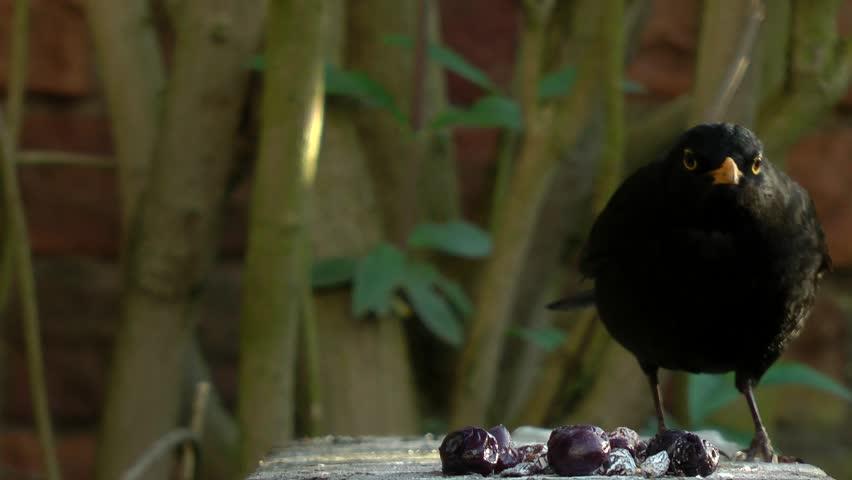 Common blackbird (Turdus merula) walks into focus and eats / steals berry #1027503308
