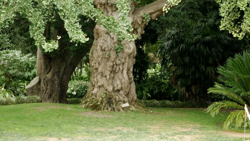 Maidenhair Tree Ginkgo Biloba Tree Stock Footage Video 100