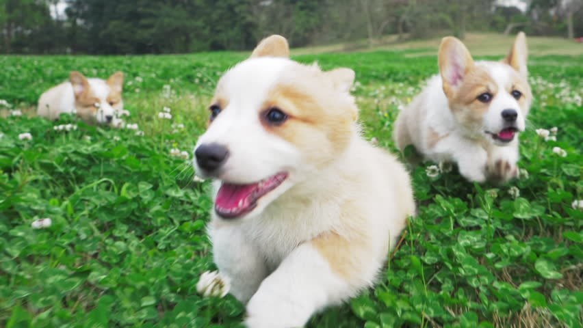 Lovely small pretty corgis running in the clover field one after another straddling legs their hair waving in the wind happily and cheerfully on the daytime group of happy Corgi puppy running outdoor