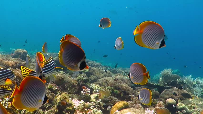 School of tropical fish (butterflyfish) on the coral reef. Colorful seascape with marine wildlife. Underwater photography from snorkeling with corals and fish. Aquatic tropical life.