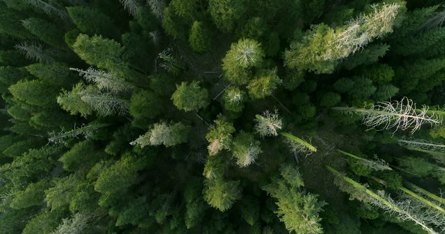 SEQUOIA NATIONAL PARK, CA, USA. Breathtaking scenery of the tall and wide-crowned trees. Top aerial 4K view over the Sequoia Grove.