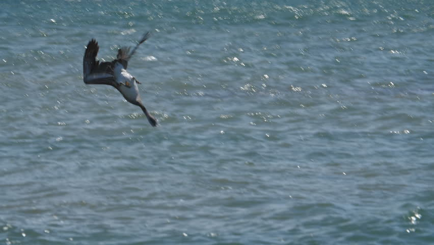 Slow motion Brown Pelican diving into the sea hunting for fish. Guanacaste Province, Costa Rica, Central America. Handheld shot with stabilized camera. | Shutterstock HD Video #1027637741
